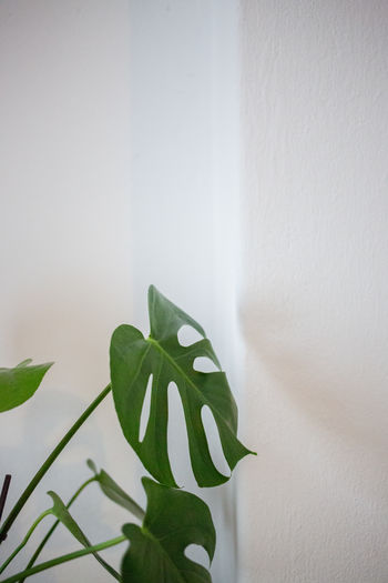 Apartement Close-up Day Green Color Growth Indoors  Interior Leaf Leaf Vein Nature No People Plant