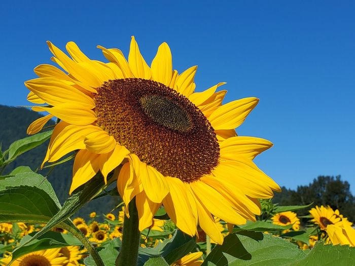 Close-up of yellow sunflower against clear sky