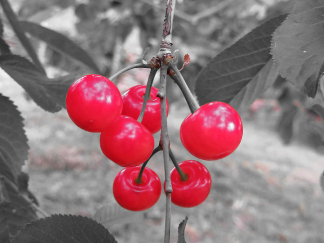 Red Montmorency cherries on tree in cherry orchard . Black and white background Agriculture Cherry Diet Montmorency Cherry Red Snack Sour Cherry Tree Vegetarian Food Wood Berry Branch Fresh Fruit Juicy Nourishment Orchard Prunus Cerasus Ripe Sour Stem Summer Sweet Tasty Vitamin