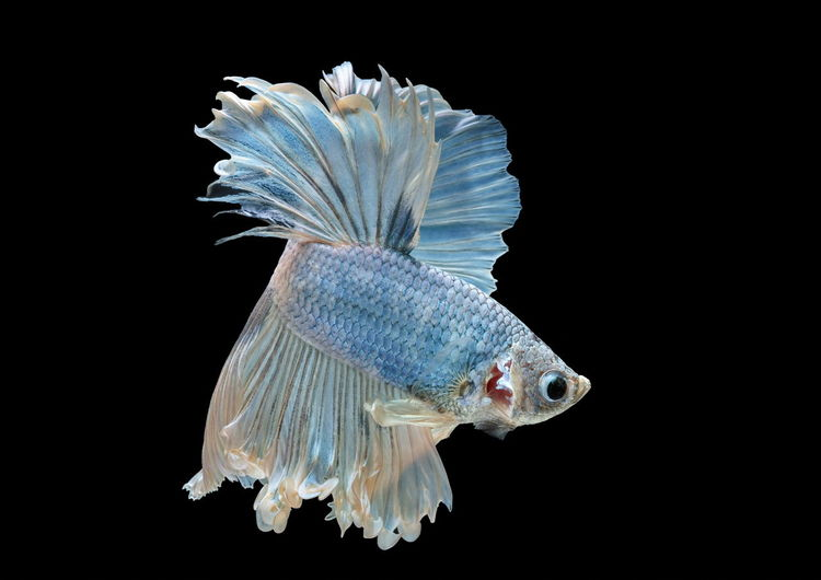 Close-up of blue fish swimming against black background