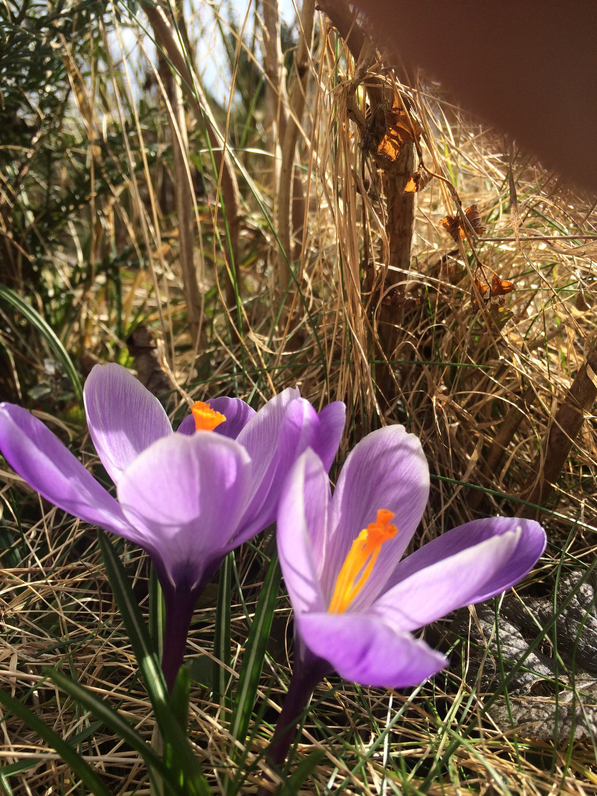 flower, petal, purple, fragility, freshness, flower head, growth, blooming, plant, beauty in nature, nature, high angle view, close-up, single flower, field, crocus, in bloom, grass, pollen, focus on foreground