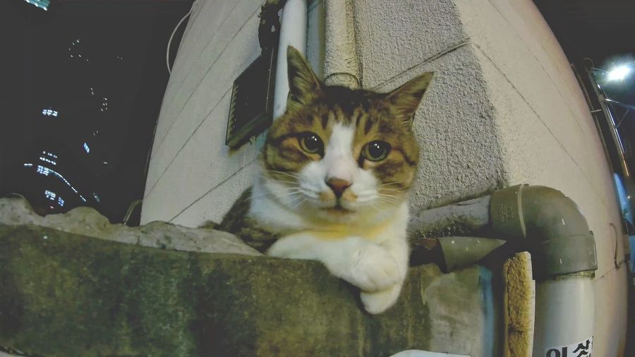 Close-up portrait of cat looking at camera
