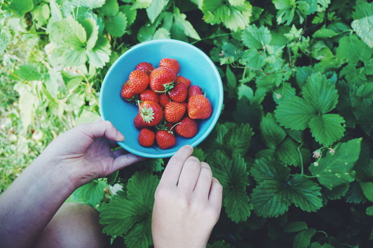 picking strawberries Human Body Part Human Hand Healthy Eating Strawberry One Person Fruit Holding Freshness Agriculture Healthy Lifestyle High Angle View Food And Drink People Food Lifestyles Only Women Red Outdoors Summer Adult Freshness Agriculture Picking Strawberry Harvest Strawberries