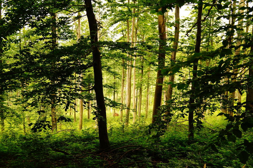 Summer forest Green WoodLand Beauty In Nature Branch Day Europe Forest Growth Lush Foliage Nature No People Outdoors Pilis Pilisszántó Scenics Summer Tranquil Scene Tranquility Tree Tree Trunk Wilderness Area WoodLand
