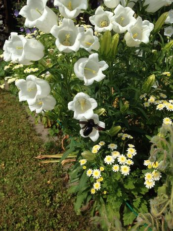 Black Bee Xylocopaviolacea Xylocopa Violette Bee Flying Bee Insect Wood Bee Flower Bellflower Bee Fly Holzbiene Blaue Holzbiene