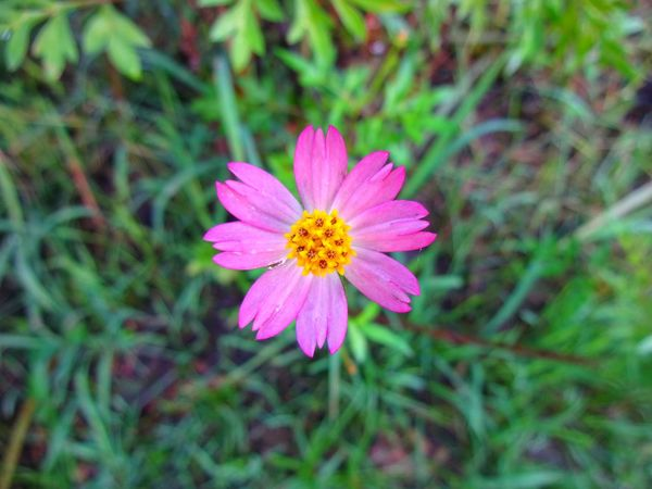 #flower #kenikir #pink #nature #green #natural #fresh Flower Fragility Petal Pink Color Flower Head Nature Pollen Beauty In Nature Growth Day Zinnia  Freshness Eastern Purple Coneflower Outdoors Focus On Foreground Blooming Close-up Insect No People Plant
