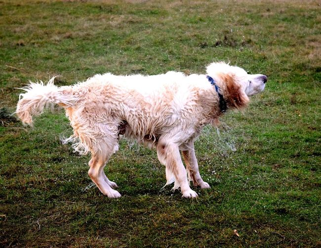 Animal Themes Domestic Animals Outdoors Dog Dogs Of EyeEm Petscorner Dogs Of Winter Dogslife January 2017 Dogwalk Dog Of The Day Capture The Moment How Is The Weather Today? Winter 2017 Goldenretriever Golden Retriever Shaking Dog Grass Green Green Green!