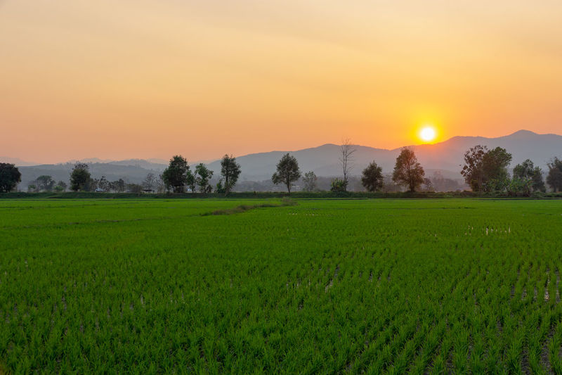 Landscape of Green rice field with mountain on background in sunset Landscape Scenics - Nature Sunset Plant Beauty In Nature Tranquility Tranquil Scene Sky Environment Green Color Rural Scene Field Land Growth Agriculture Nature Grass Crop  Orange Color Tree Sun No People Outdoors Plantation