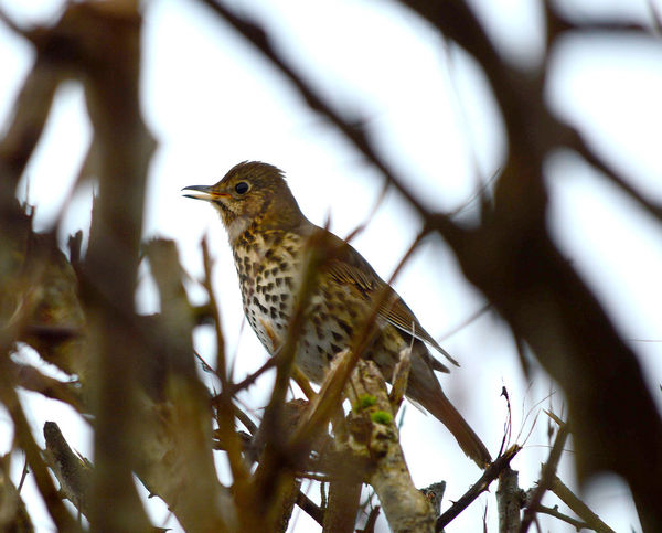 Song Thrush, turdus philomelos Song Thrush Animal Themes Animal Wildlife Animals In The Wild Bird Branch Close-up Day Nature No People One Animal Outdoors Perching Thrush Tree Turdus Philomelos Woodpecker