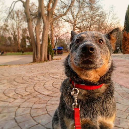 Derp Dog Australian Cattle Dog Domestic Animals Pets One Animal Nature No People Animal Themes Focus On Foreground Outdoors Close-up Mammal Day Tree Blue Heeler Blue Dog ACD  Cattledog Funny FUNNY ANIMALS