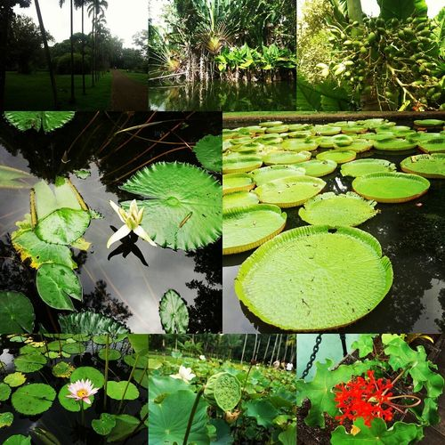Pamplemousses garden Plant Green Color Growth Leaf Nature Water Lily Outdoors Water Day No People High Angle View Lily Pad Floating On Water Flower Beauty In Nature Close-up Freshness mauritius Mauritius Island  Mauritius Beauty My Favorite Photo EyeEm Best Shots Nature Forest Mountain Tree pamplemousses botanical garden