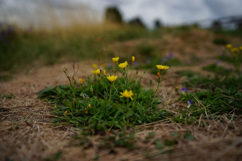 Beauty In Nature Close-up Day Environment Field Flower Flowering Plant Fragility Freshness Grass Growth Land Nature No People Outdoors Plant Selective Focus Surface Level Tranquility Vulnerability  Yellow