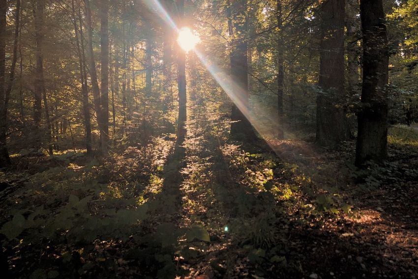Sunlight Sunbeam Tree Sun Lens Flare Nature Plant Beauty In Nature Growth Tranquility Land Streaming No People Sky Scenics - Nature Tranquil Scene Non-urban Scene Forest Outdoors