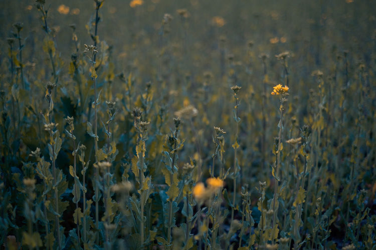 Mostly Green Plant Nature Beauty In Nature No People Freshness Close-up Flower Flowering Plant Growth Field Yellow Land Vulnerability  Fragility Selective Focus Outdoors Day Flower Head Inflorescence Tranquility