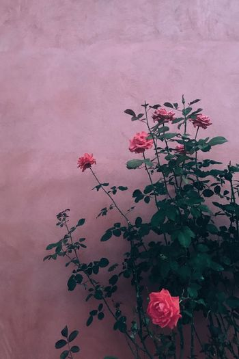 Close-up of pink rose against red wall