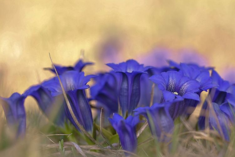 Beauty In Nature Blue Close-up Crocus Day Field Flower Flower Head Flowering Plant Fragility Freshness Growth Inflorescence Land Nature No People Petal Plant Purple Selective Focus Vulnerability