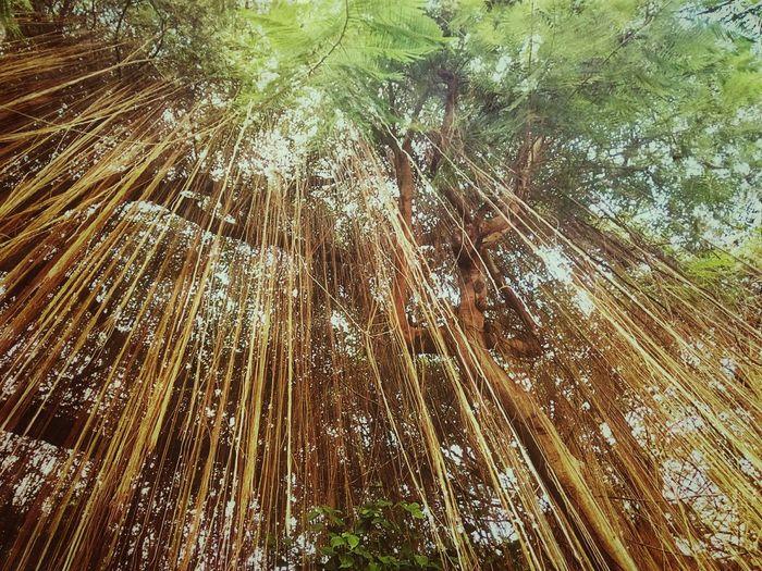 Root Of Banyan Tree Banyan Root Root Roots Roots Of Tree Root Of Tree Root Of A Tree Root Of The Tree Low Angle View Tree Tree View Tree Nature