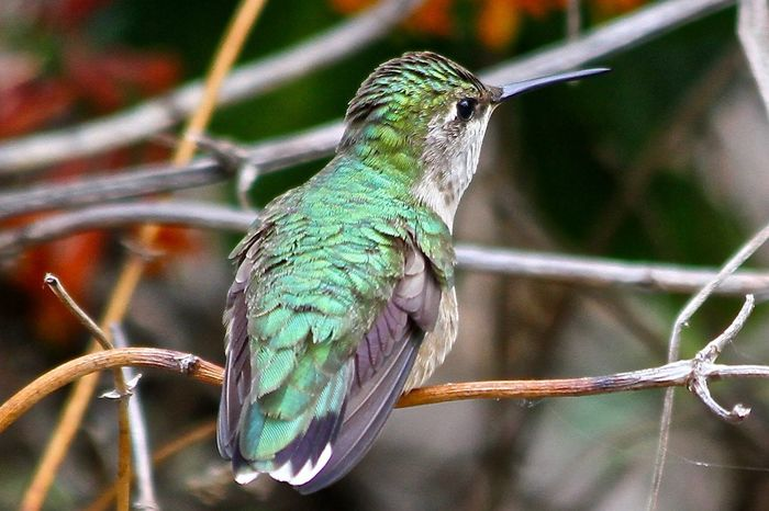 Animal Themes Animal Wildlife Animals In The Wild Beak Beauty In Nature Bird Branch Close-up Day Focus On Foreground Hummingbird Mike Stouffer Nature No People One Animal Outdoors Perching TheSixthLens