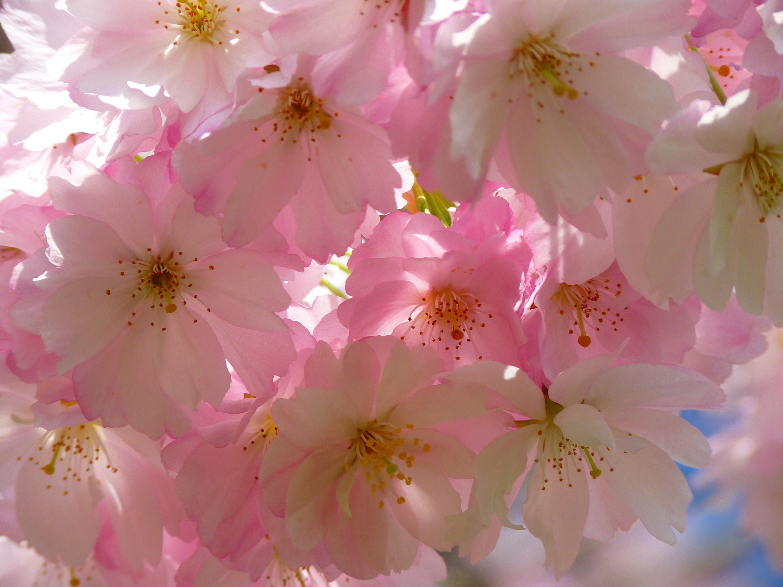 flower, freshness, fragility, petal, pink color, beauty in nature, growth, flower head, nature, close-up, blossom, blooming, stamen, pink, in bloom, pollen, backgrounds, cherry blossom, low angle view, botany