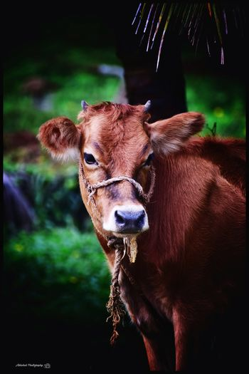 Brown Hair Cow Cow In Field Clicked On Nikon D3300 Brown Animal Eye HEAD Animal Ear