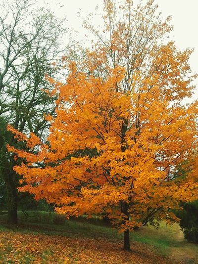 Golden Autum Leaves. Walking Around Portland Oregon Washington Park Autumn Colors