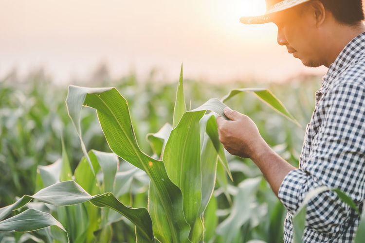 Side view of man holding corn field