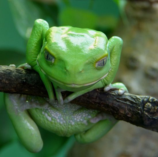 Makifrosch (Phyllomedusa) EyeEm Nature Lover Rainforest Amphibian Funny Treefrog Frog Animal Wildlife One Animal Green Color Close-up Animal Themes Camouflage Beauty In Nature