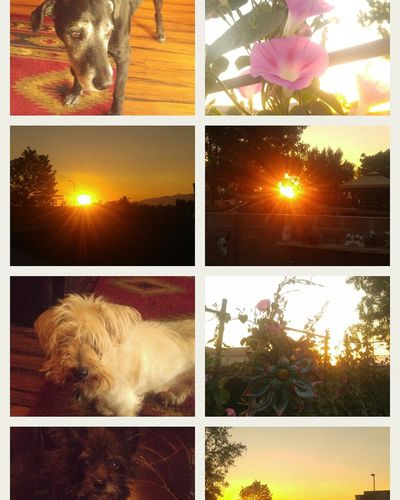 Taking care of my family's dogs and garden, while watching the sun rise from the east, over the Sandia Mountains. Sun Beauty In Nature Flower Collage Sky Day Multi Colored Variation Sunlight No People Growth Outdoors Multiple Image Lens Flare Sunset Tree Nature First Eyeem Photo