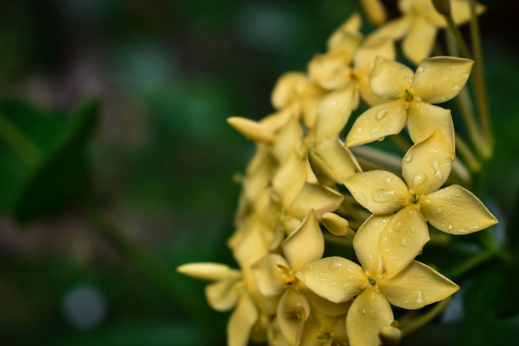 Wet small yellow indian flower blooming.