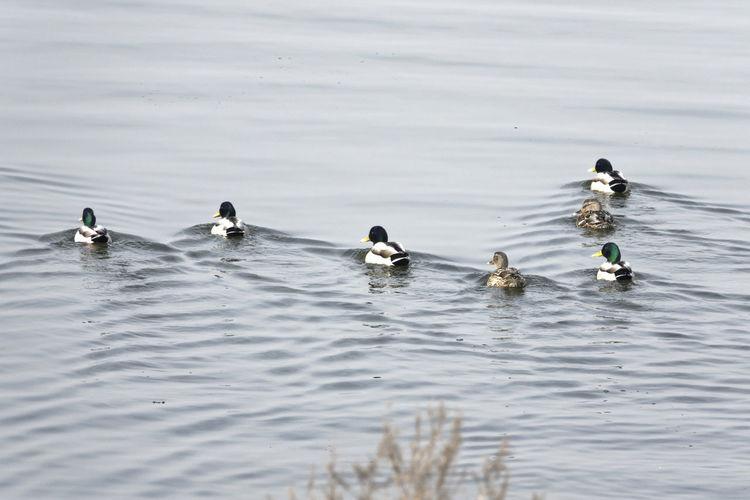 High angle view of ducks swimming on sea