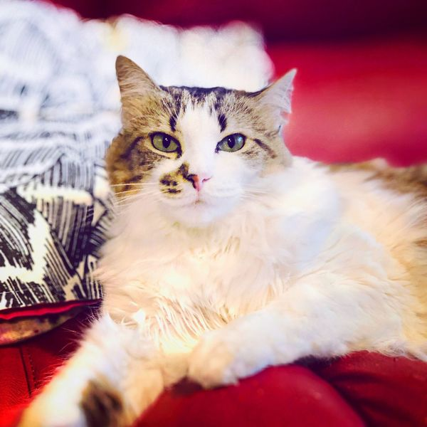 Domestic Cat Pets Domestic Domestic Animals Cat Feline Mammal