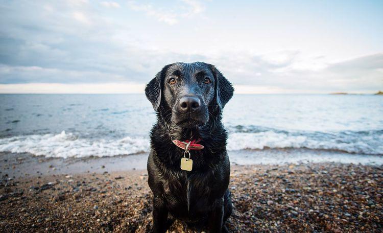 Retrieving life. Labrador Portrait Michigan Lake Superior 12mm  Adventure