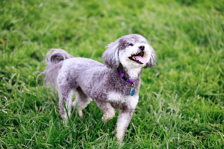 Schnoodle, cross between schnauzer and poodle, playing tricks.