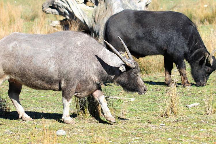 A pair of Water Buffalo at Orana Wildlife Park, Christchurch, New Zealand. Christchurch Water Buffalo Zoo Animal Themes Day Mammal Nature New Zealand No People Orana Wildlife Park Outdoors Two Animals