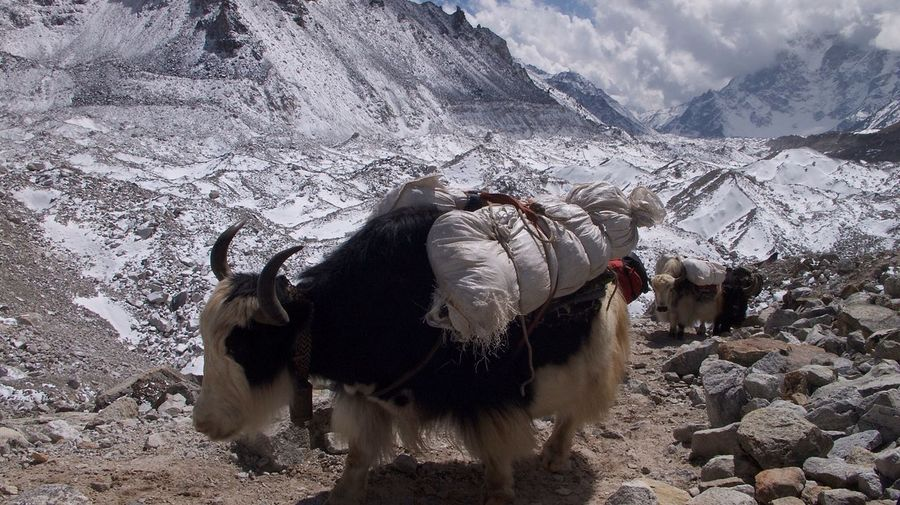 Yaks With Loads Walking Amidst Rocks In Himalayas