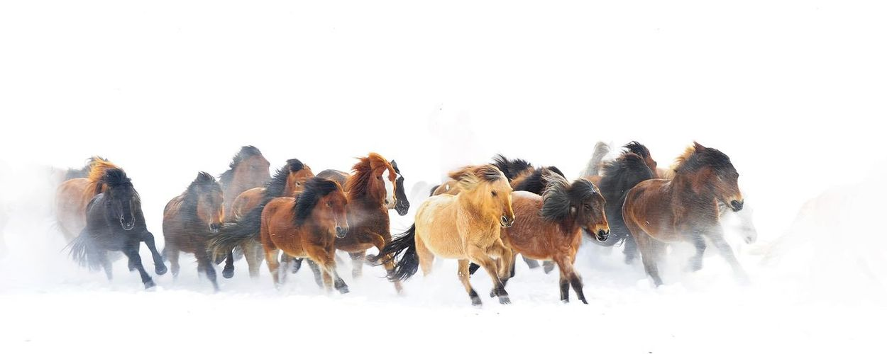Horses Running On Snow Covered Field
