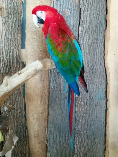 Animal Themes Aviary Beak Bird Bird With Vibrant Colors Birds Branch Colorful Colourful Colourful Bird Colourful Feathers Feathers Macaw Parrot Perching Rescue Bird Scarlet Macaw