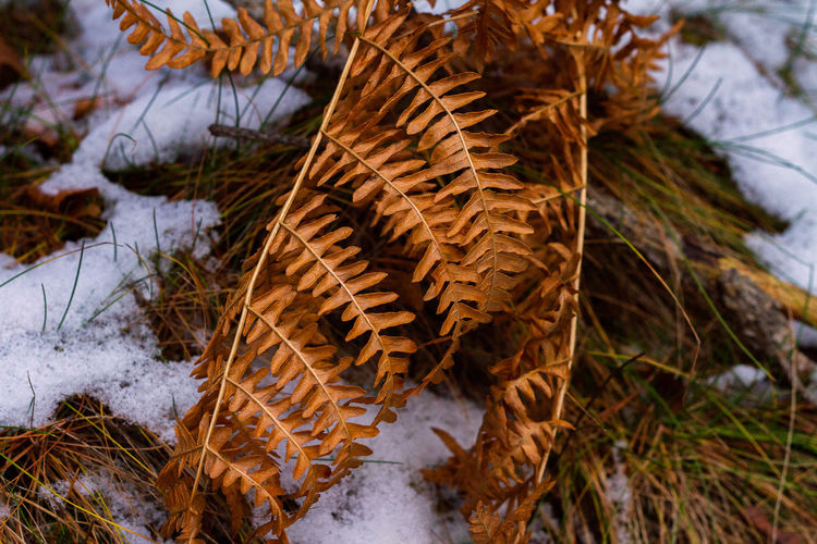 The fern Beauty In Nature Close-up Cold Temperature Dried Plant Fragility Leaf Nature No People Outdoors Snow Winter