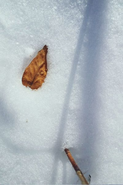 White Background Shadow Leaf Twig Snow Winter Cold Temperature No People Day Nature Outdoors Close-up