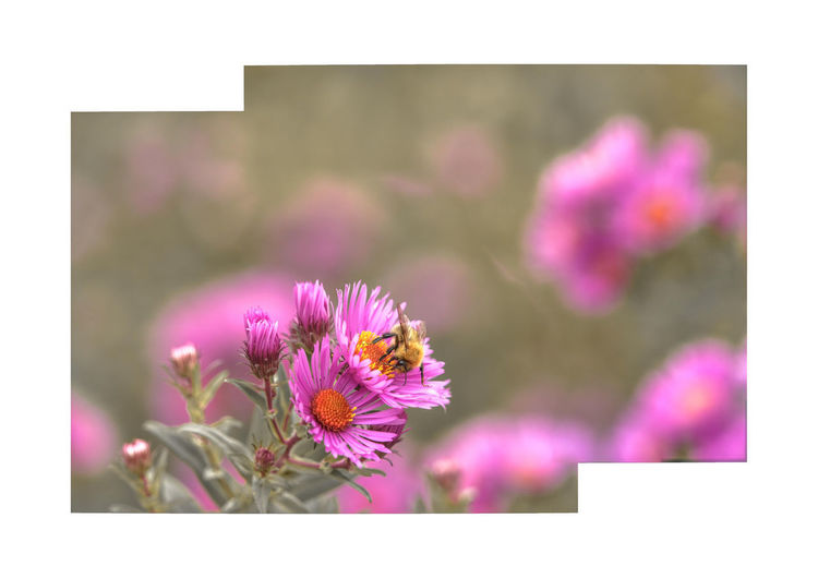 flowers and bee Flower Flowering Plant Plant Freshness Beauty In Nature Pink Color Auto Post Production Filter Close-up Transfer Print Vulnerability  Petal Fragility Nature No People Growth Flower Head Inflorescence Frame Day Focus On Foreground Outdoors Purple Pollen Flower Arrangement