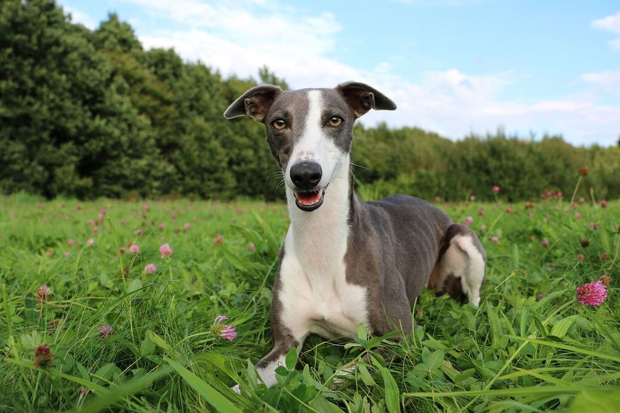 grey whippet is lying in a clover field in the park Clover Kleefeld Animal Themes Close-up Cloud - Sky Clover Field Day Dog Domestic Animals Field Flower Grass Looking At Camera Mammal Nature No People One Animal Outdoors Pets Portrait Sighthound Sky Whippet Windhund