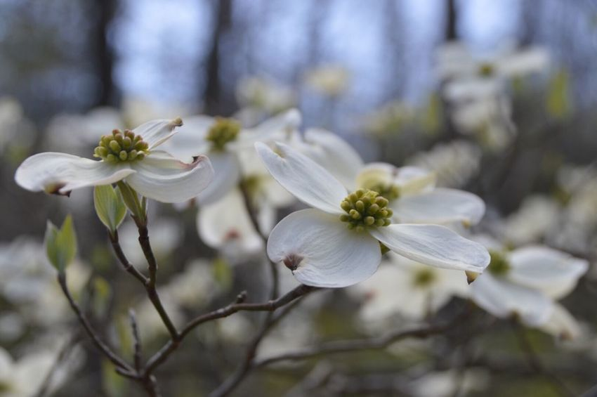 Our state tree the flowering dogwood, we had lots of them too. And they are still in bloom. Everyone has been getting pictures of pink dogwood. I've been searching but can't find any. Maybe soon.