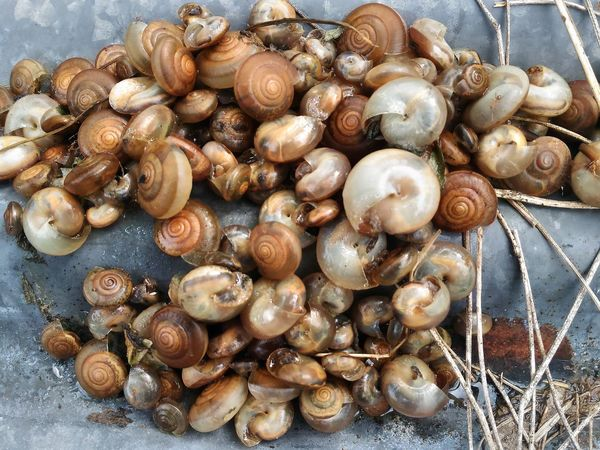 Snail Death Animal Body & Fitness Dead Organism SHELLFISH  Shellfishes Snail Snail Death