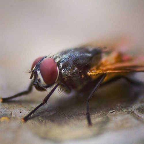 Insectoftheday Insect Animal Themes One Animal Close-up Fly Animals In The Wild No People Day Outdoors