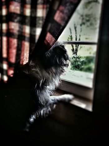 Dog Long Haired Dog Window Nature Indoors Outdoors Indoors Looking Out