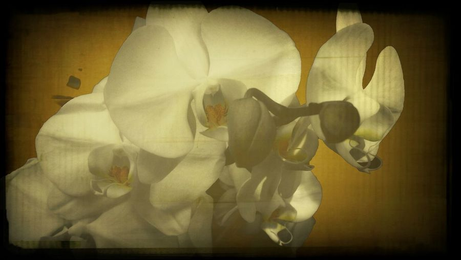 I have several versions of These Orchids' They Lived in Perfect Health for months.