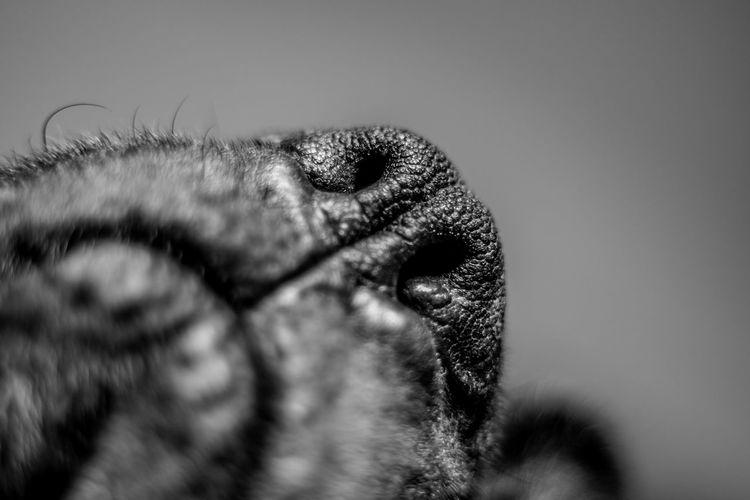 50mm Classic Big Black Spot Cane Corso Look Into Dogs Nos Masti Nose Sleeping Dog Spying
