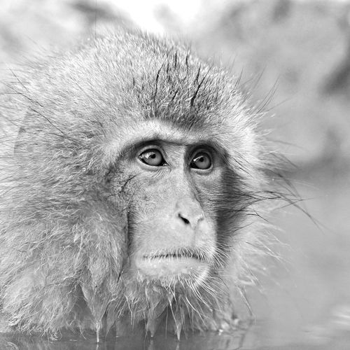 Close-Up Of Wet Monkey In Pond