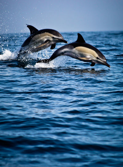 Dolphins diving in sea against clear sky