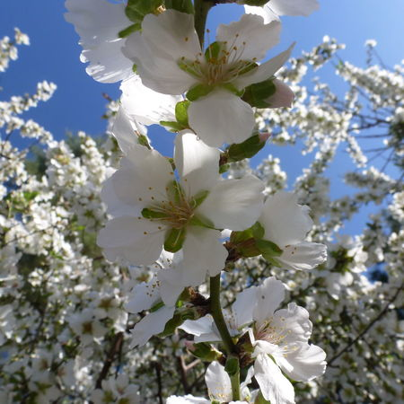 5 Petal Leaves Almond Blossom Almond Tree Beauty In Nature Blooming Blossom Day Flower Growth Hollyland Nature No People Outdoors The Land Of Milk And Honey Tree Tree White Blossom